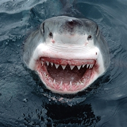 Insanity Shark