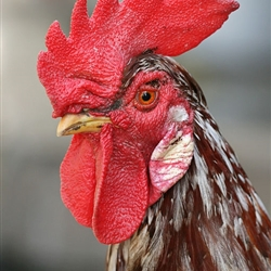 Responsible Rooster