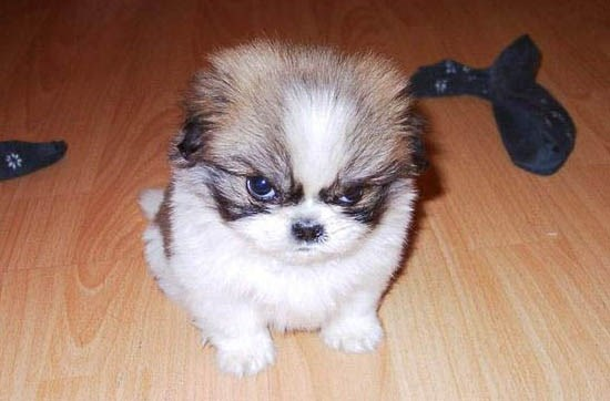 angry puppy dog angry puppy dog meme generator