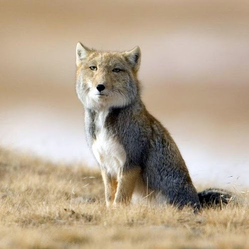 Disappointed Tibetan Fox