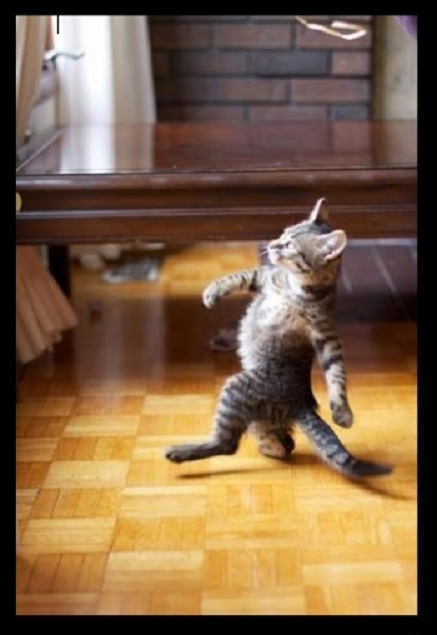 cat walking like aboss
