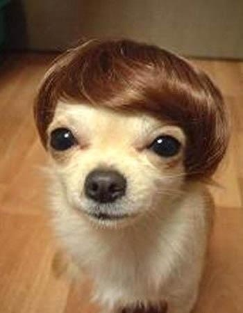 chihuahua meme face chihuahua with mod wig meme generator 432