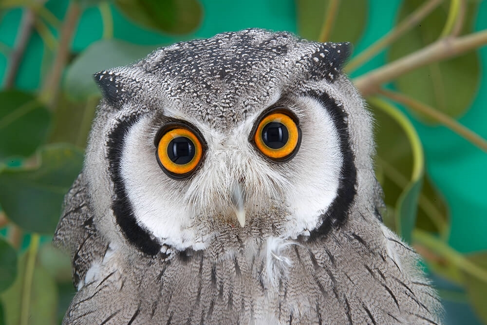 Owl eyes guy