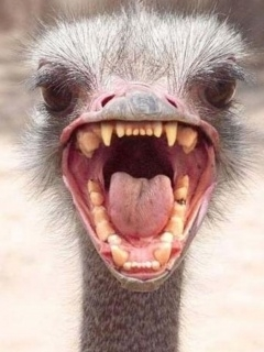 Angry White Ostrich