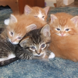 four tired kittens; Beefy, Lemon Pie, Fluffy and Jean-Philippe
