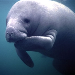 fat positive manatee