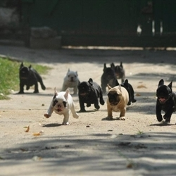 FRENCHIE STAMPEDE