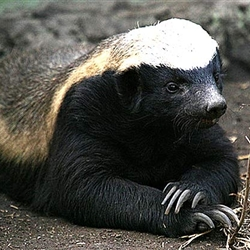 Indifferent Honeybadger
