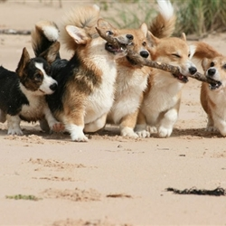 Corgi Team Effort