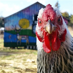 Coco the Rooster