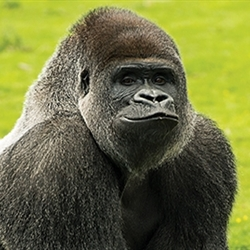 Good Looking Harambe