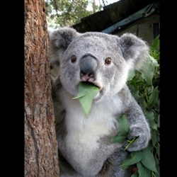 Koala can't believe it