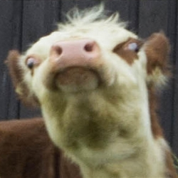 angry ghetto cow