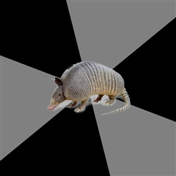 English Major Armadillo