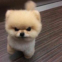 Pissed off Angry Fluffy Dog