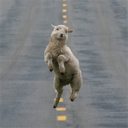 Excited Sheep