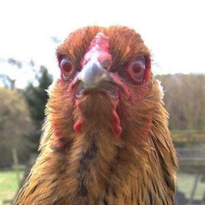 Angry Chicken 2