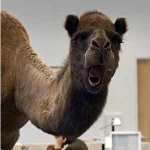 Hump Day Camel1