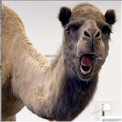 Guess what day it is camel