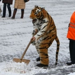 Working Tiger