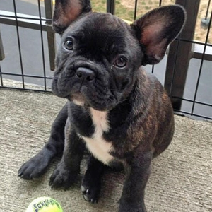 French Bulldog feel better