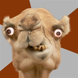 Crazy Camel lol