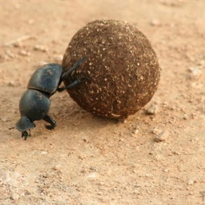 Hard Working Dung Beetle