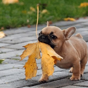 leaves bulldog