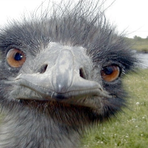 Emu so happy Nanny is home  Get well soon! - funny emu face