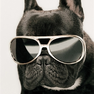 French bulldog sunglasses