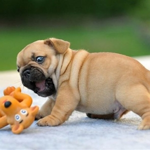 Surprised Bulldog Puppy