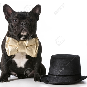 gentlemen french bulldog