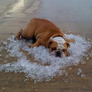 bulldog on ice