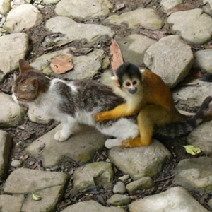 Pussy Riding Spider Monkey