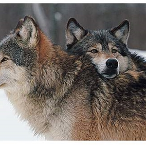 Wolf Hearts