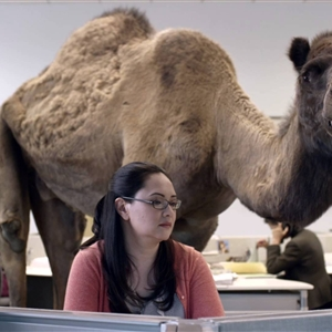 Hump Day Camels