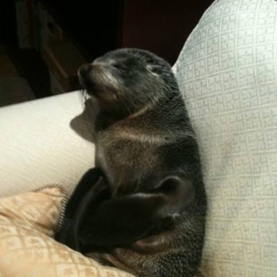 Baby Seal On Couch