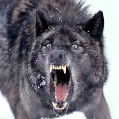 Angry Ass Wolf