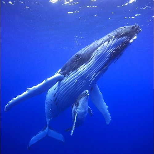 super dumb humpback whale