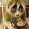 Sad Slow Loris