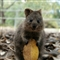 Feel Good Quokka