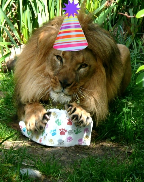 71343337 lion birthday meme generator