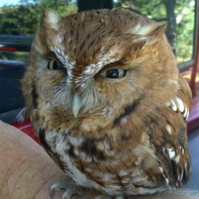 Overly Angry Owl