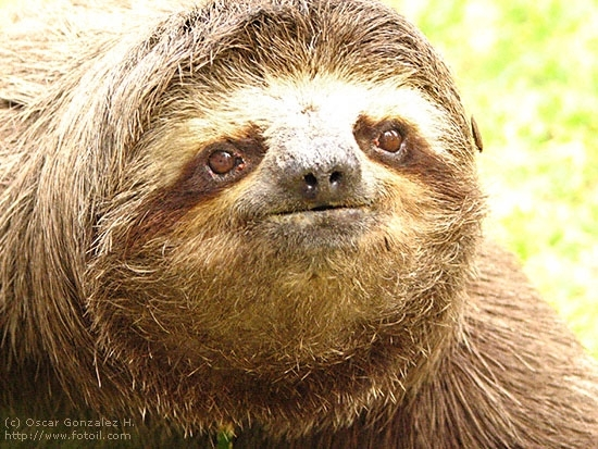 Serious Sloth