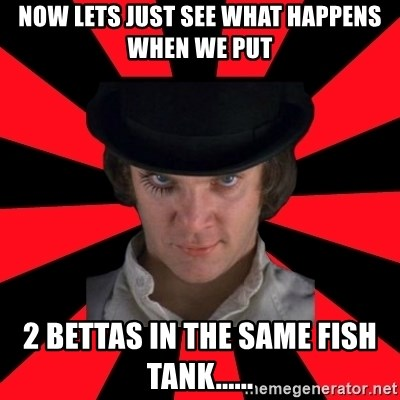 Cynical animeshniki - Now lets just see what happens when we put 2 bettas in the same fish tank......