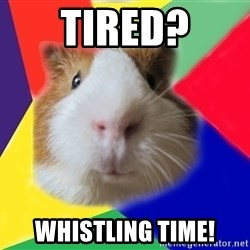 Typical guinea pig - tIRED? WHISTLING TIME!