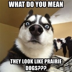 Surprised Husky - What do you mean they look like prairie dogs???