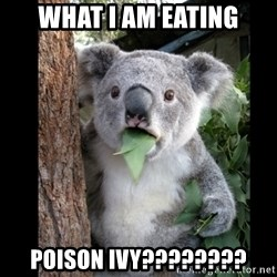 Koala can't believe it - what i am eating poison ivy????????