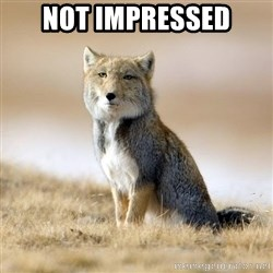 Disappointed Tibetan Fox - not impressed