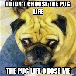 Perplexed Pug - i didn't choose the pug life the pug life chose me
